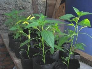 tanaman cabe usia 2 bulan di polibag, pastikan cukup sinar matahari