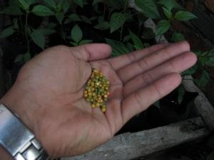 pupuk daun digunakan di awal pertumbuhan